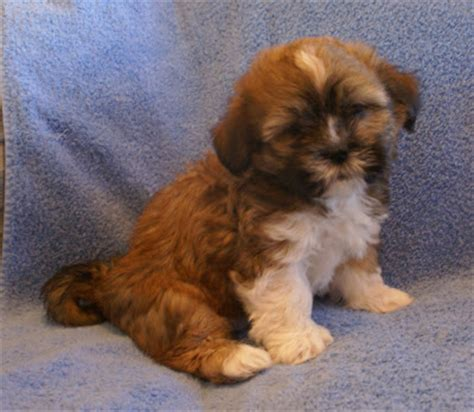 non shedding mellow dog breeds dog breeds picture
