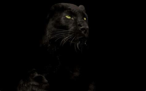 Black Panther Animal Wallpaper - black panther animal wallpaper impremedia net