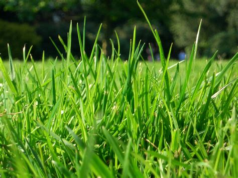 what type of grass is sod grass fihu flickr