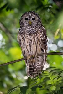 owls wp3 photography