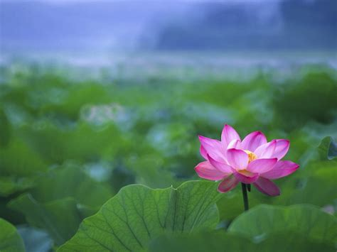 lotus wallpapers green background lotus wallpaper