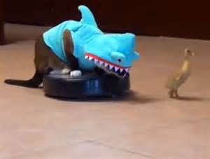 cat on roomba cat in a shark costume chases a duck while a