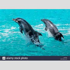 Dolphins Jumping Out Of Water Stock Photos