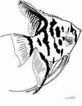 Fish Coloring Angel Pages Aquarium Angelfish Freshwater Printable Colors Timeless Miracle Own sketch template