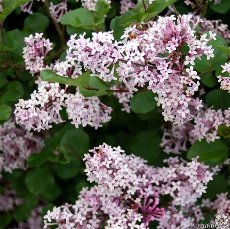 wanneer krijgt een sering bloemen seringen snoeien bemesten en meer info over soorten seringen