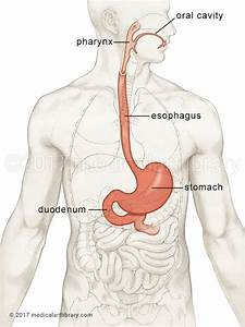 Stomach Location In Body