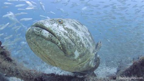 grouper goliath kosher