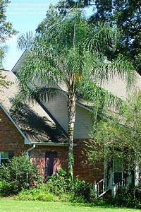 PlantFiles Pictures: Queen Palm, Cocos Plumosa, Jeriva ...