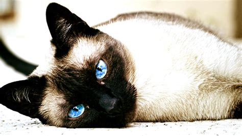 Wallpaper Cats Animals - cat siamese cats animals blue wallpapers hd