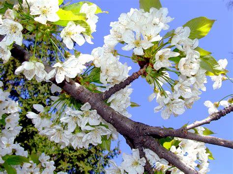 fruehling kirschbluete kostenlose hintergrundbilder