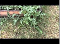 Raised Bed Garden Update 12 Watermelon YouTube