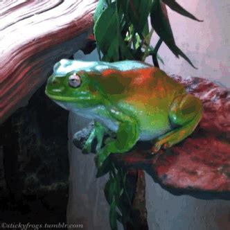 whites tree frog green tree frog gif wifflegif