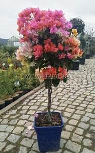 bougainvillea glabra 39 sanderiana 39 bonsai violett