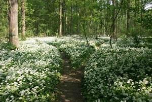 Bärlauch Pflanze Kaufen : b rlauch kaufen darauf sollten sie achten ~ Eleganceandgraceweddings.com Haus und Dekorationen
