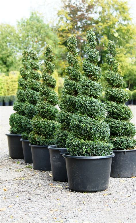 Topiary Spirals From Crown Topiary, Hertford  A Topiary