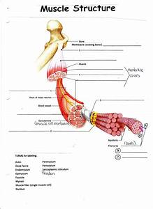 Image Result For Bones And Muscle Worksheet For Grade 2