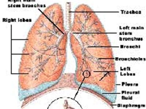 muscle flap technique  lung surgery boldskycom