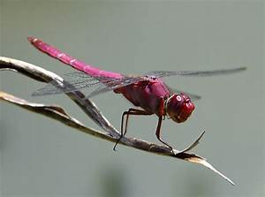 Dragonfly | Fact-Info and Photos 2012 | The Wildlife