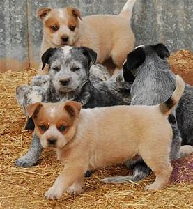 Australian Cattle Dog Puppies - Doglers