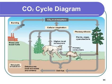 Boar Cycle Diagram by Capital High School Calculates Carbon Sequestered On