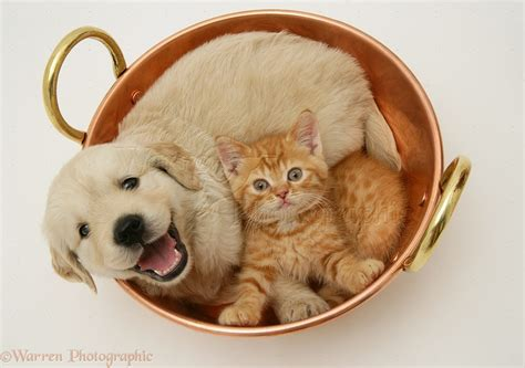 Pets Golden Retriever Pup And Ginger Kitten In A Copper