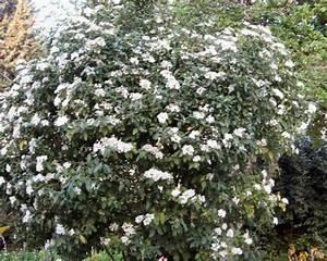 Laurier Tin : les plantes toxiques mortelles ~ Mglfilm.com Idées de Décoration