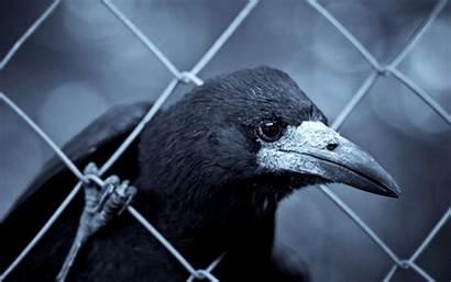 Raven Dark Wallpapersafari Wallpaperlepi