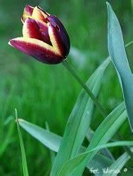 Wann Blühen Narzissen : tulpe gavota ~ Eleganceandgraceweddings.com Haus und Dekorationen