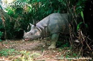 Javan rhinoceros photo - Rhinoceros sondaicus - G9224 | Arkive