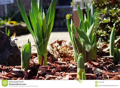 emerging daffodils and tulips in early stock photo