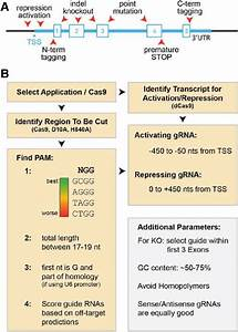 A Guide To Selecting A Guide Rna   A  Schematic