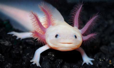 smiling salamander threatened  extinction  star attraction  austrian aquarium