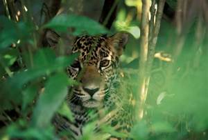 Amazon Rainforest Animals Black Jaguar | www.pixshark.com ...