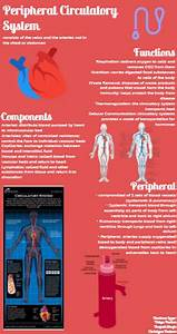 Peripheral Circulatory System