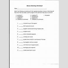 Meiosis Matching Worksheet