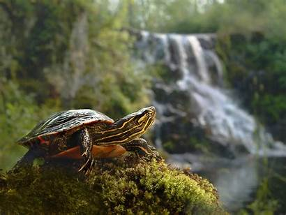 Turtle Turtles Wild Facts Wallpapers Painted Animal