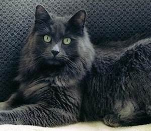Nebelung Info Personality Pictures Kittens