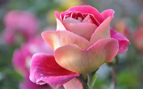 Animated Roses Wallpaper - most beautiful flowers animated wallpapers 8 flower