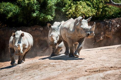 zoo sprouts rumbling rhinos   years  houston zoo
