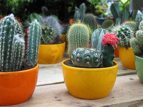 Cactus, FREE Stock Photo, Image: Mini Cactuses Picture ...
