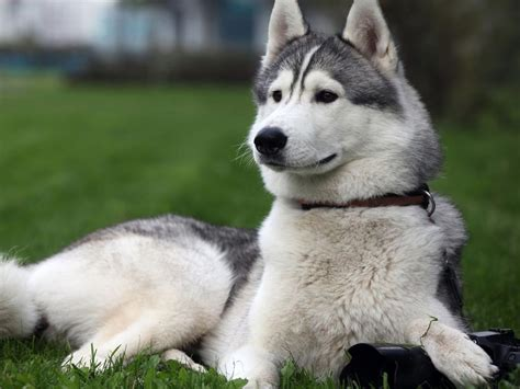 gray and white shades alaska malamute the of animals