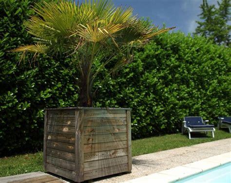 palmier en pot comment le choisir et le cultiver