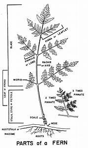 Biogeography Of Swordfern  Polystichum Munitum