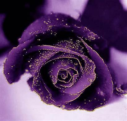 Rose Violette Scintillante Purple Centerblog Roses Violet
