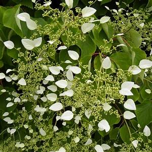 Plante Intérieur Grimpante : hortensia grimpant du japon godet de 8 cm gamm vert ~ Louise-bijoux.com Idées de Décoration