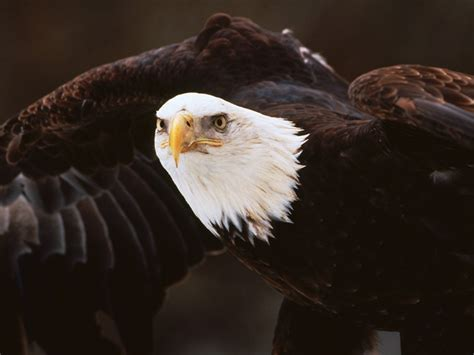 fun animals news bald eagle wallpapers