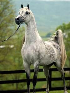 Dappled Arabian: A Dapple Grey Arabian