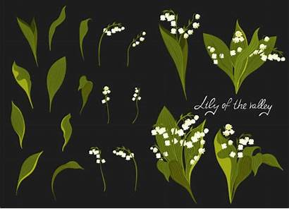Valley Lily Vector Graphics Illustrations Lilies Clip