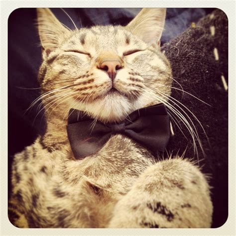 gentleman dapper cats cat catster extremely satisfaction cultivates smile he