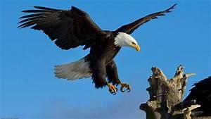 Wallpapers de águilas Fondos de pantalla de águilas